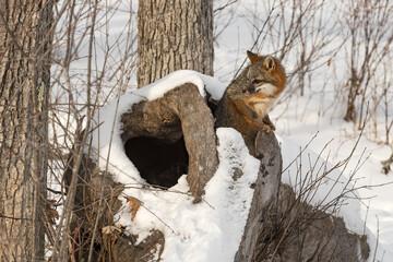 Grey Fox (Urocyon cinereoargenteus) Looks Out of Inside of Log Winter