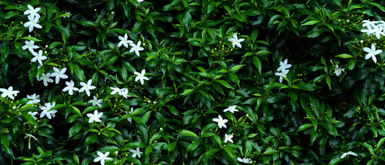 Abstract white cape jasmines with green leaves (Gardenia jasminoides) background