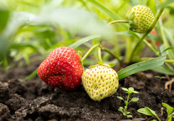 Ripe red strawberries on the ground.