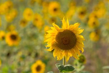 Sunflower on a sunflower field