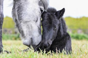 Door stickers Horses Icelandic foal and mother