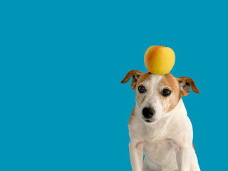 Lovely little dog with yellow apple on head standing on bright blue background