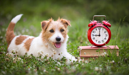 Cute smiling happy jack russell terrier dog puppy listening in the grass with books and alarm clock. Pet obedience training concept, web banner.