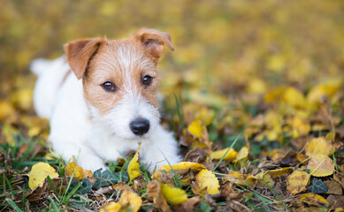 Cute happy jack russell terrier pet dog puppy looking in the autumn fall leaves, web banner, background with copy space