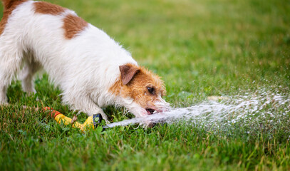 Wet happy jack russell terrier pet dog puppy drinking water in a hot summer day, web banner