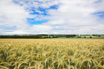 Field of wheat in summer