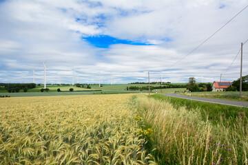 Field of wheat alongside the road