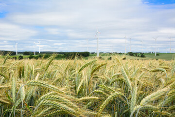 Field of wheat in summer, close-up