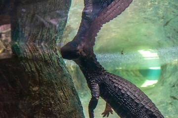 Fotobehang Krokodil Dwarf crocodile (Osteolaemus tetraspis) in zoo Barcelona
