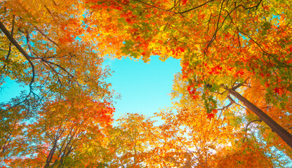 Autumn forest background. Vibrant color tree, red orange foliage in fall park. Nature change scene....