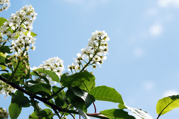 Bird Cherry Blossoms In Spring