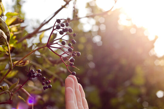 Woman Touching to Berries on Tree Close Up Shot on Sun Set in Green Garden.