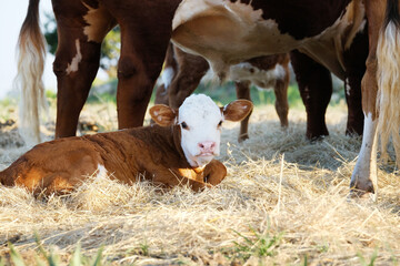 Wall Mural - Cute baby cow shows Hereford calf laying with herd closeup in hay.