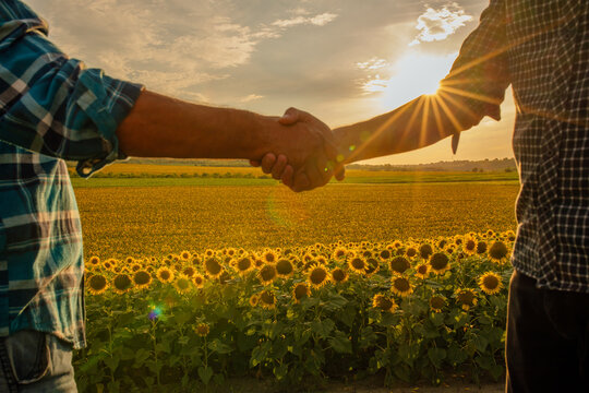 close up, Two man shaking hands in the sunflower field, Concept of agricultural cooperation