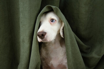 Scared or afraid puppy dog wrapped with a green curtain.