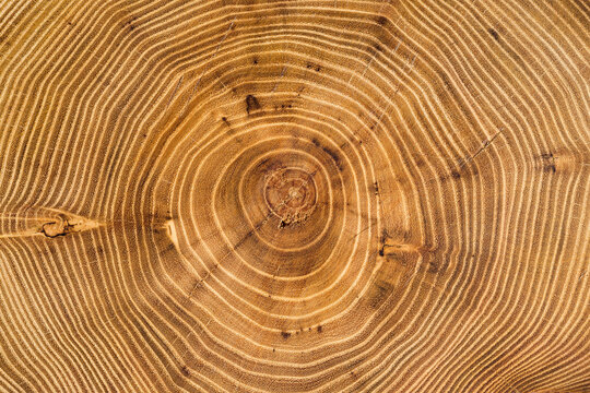 Cross section of acacia tree with growth rings. Full frame of wood slice for background