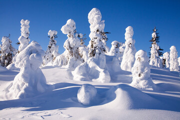 Foto auf Leinwand Nordlicht Snow covered trees on a Iivaara hill near Kuusamo on a beautiful sunny winter day, Northern Finland.
