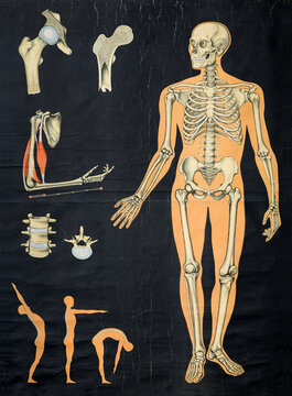 Vintage human anatomy chart of the skeletal system