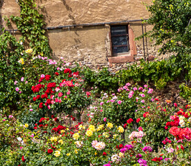 Multicolored roses in a small rose garden behind the old stone house wall.