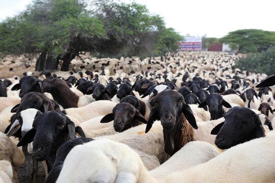 Sheep are seen at a livestock market ahead of the Eid al-Adha festival, amid the coronavirus disease (COVID-19) pandemic, in Mogadishu