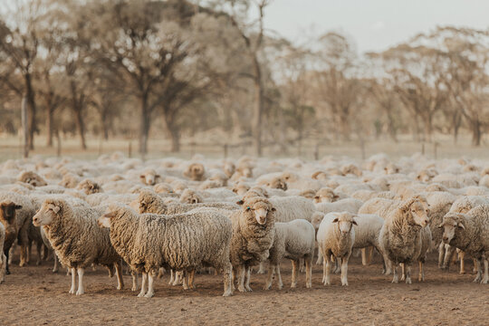 Flock of merino sheep in dry and dusty paddock