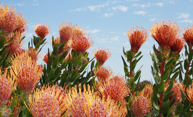 Native Australian Flowers with blue sky in background