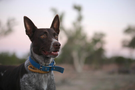 Cattledog staring into distance, watching and waiting, early morning light