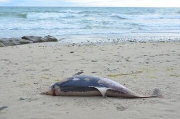Stranded Short beaked common dolphin (Delphinus delphis). Dauphin commun à bec court échoué.