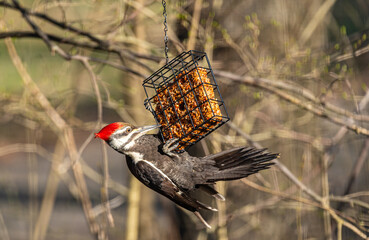 Pileated woodpecker with red head perched on suet feeder in forest