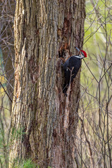 Red headed pileated woodpecker perched on tree trunk in forest