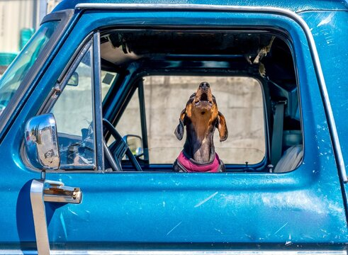 Wiener dog howling out of car window