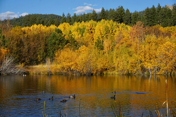 Ducks swimming in a small pond near Lake Tahoe, California, with fall colors reflected in the water