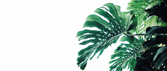 Tropical leaves pattern foliage plant bush Monstera (Monstera deliciosa) nature frame layout on white background for banner and cover page, tropical summer houseplant and forest concepts. Wall mural
