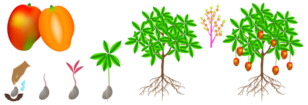 A growth cycle of a mango plant is isolated on a white background.