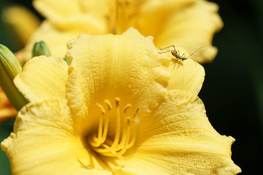 Baby Grasshopper on a bright yellow flower
