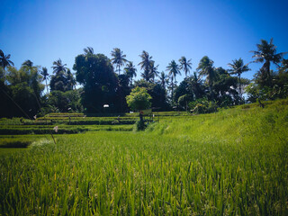 Green Peaceful Atmosphere Of The Rice Fields Scenery At The Village, Ringdikit, North Bali, Indonesia