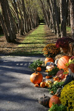 Pumpkin display in a park in Autumn decorates entrance to a garden path lined with river birch trees