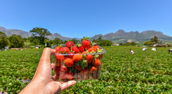 A bucket of strawberries with a strawberry farm at the background in Stellenbosch, Western Cape, South Africa