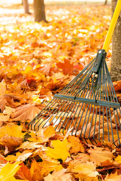 Metal rake, trees and colorful yellow maple leaves in autumn. Fall lawn and garden property maintenance chores. Vertical background image with copy space.