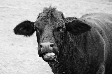 Wall Mural - Funny Black Angus crossbred beef cow face close up, looking at camera in black and white.