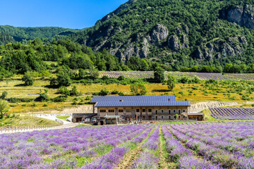 A beautiful lavender field in Demonte, a small town in the Piedmont Alps, Italy