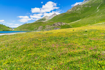 Colorful flowery meadow during summer at Maddalena Pass (Colle della Maddalena) located on the border between Italy and France