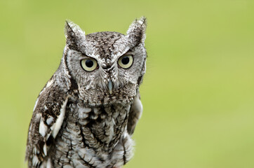 Portrait of Eastern Screech Owl (Megascops asio), on natural green background. Copy space.