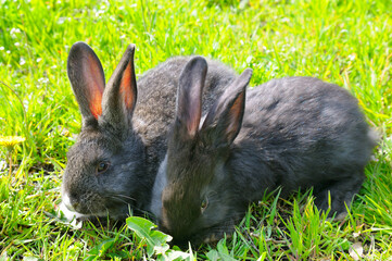 Two young rabbits on the green meadow.