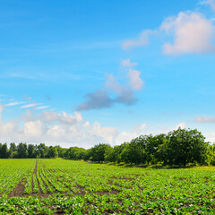 Green field with beets and blue sky.