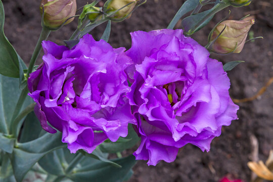 Lilac flowers Eustoma