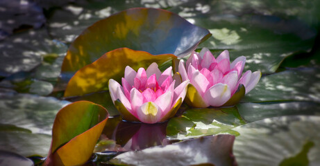 Two pink waterlilies (Nymphaeaceae) in pond among big green leaves with dappled shade and sunlight in summer
