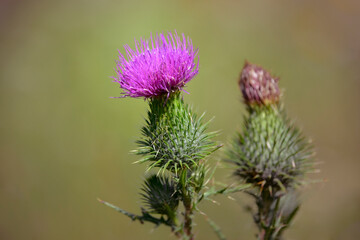 Spear thistle (Cirsium vulgare),  bull thistle or common thistle pink flower on bud with thorns