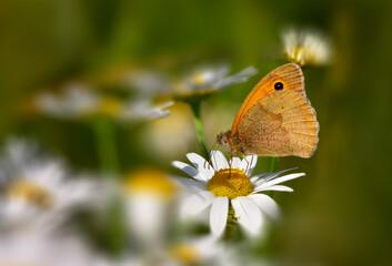 Meadow brown (Maniola jurtina) butterfly on corn chamomile (Anthemis arvensis) in wildflower field in summer. Shallow depth of field.
