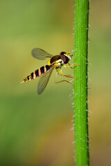 Hoverfly (Sphaerophoria) insect on flower stem close-up, shallow depth of field macro photography